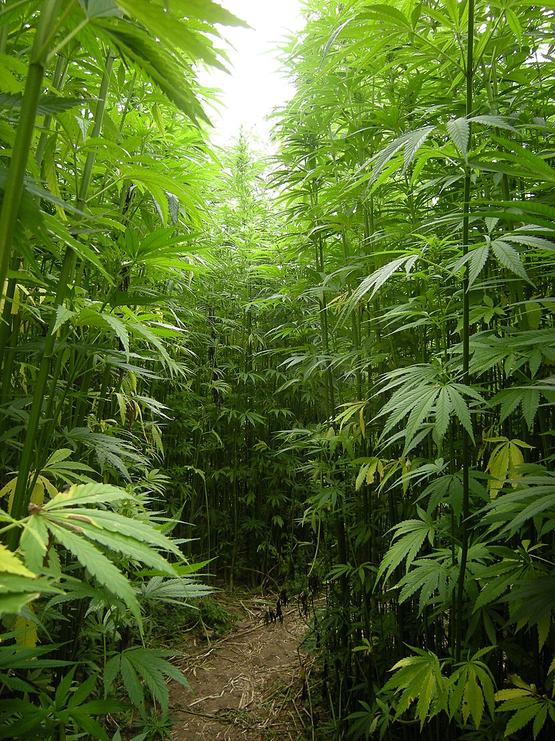hemp-plant-faq-what-does-it-look-like